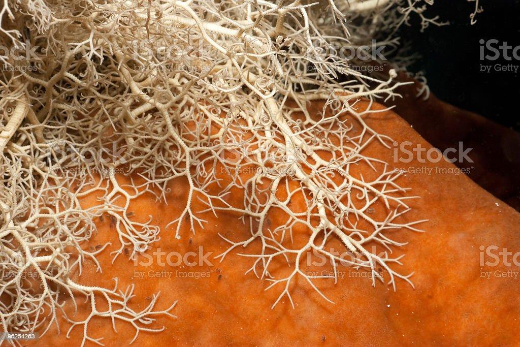 Zooplankton Feeding Basket Star holding on Giant Sponge, Sulawesi, Indonesia stock photo