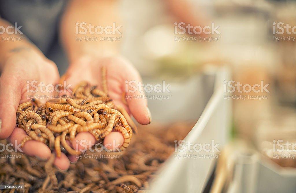 Zophobas, larvae, Superworm stock photo