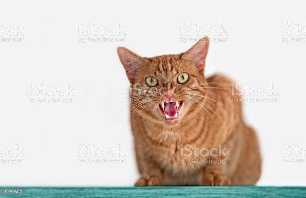 Zorniger getigerte Katze stock photo