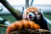 Zoro the active red panda saying hi to everyone with its tongue out