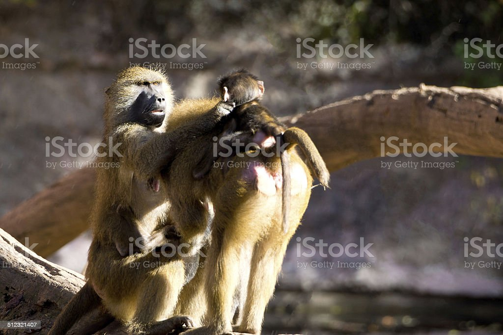 Zärtlicher Pavian stock photo