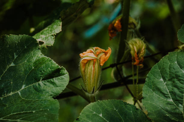 Zucchini flower in an organic plantation of an ecologic farm. Selective focus. stock photo