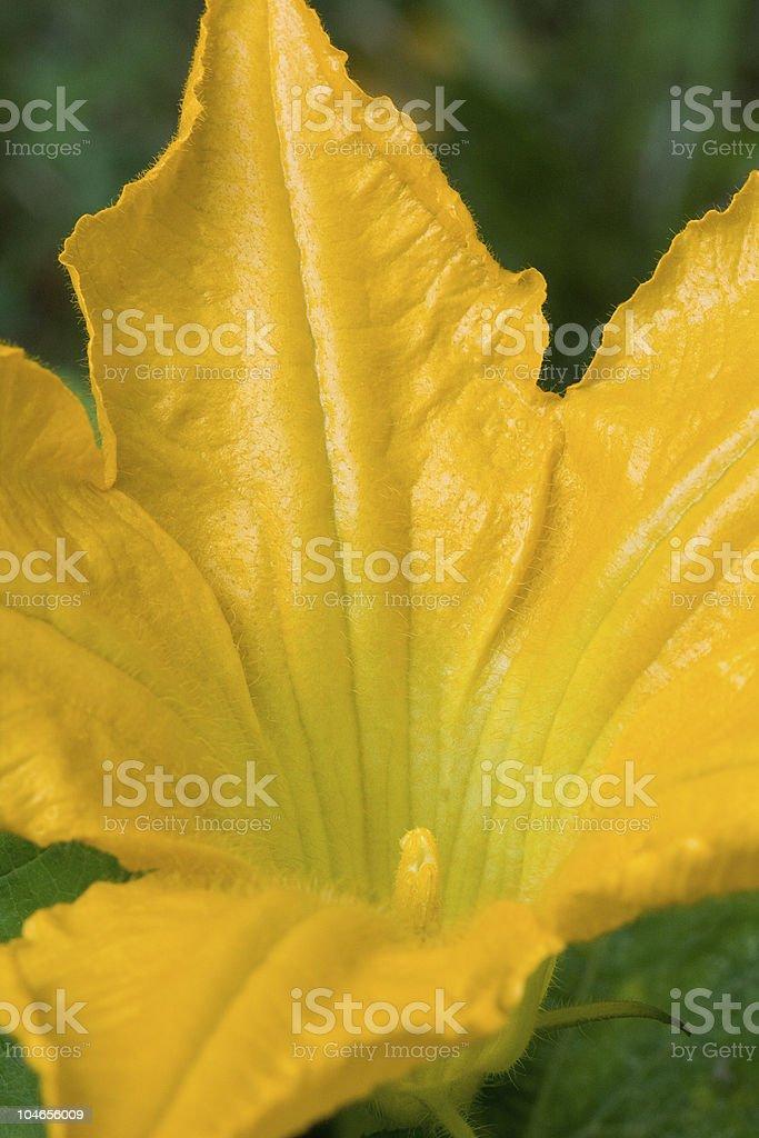 Zucchini Flower royalty-free stock photo