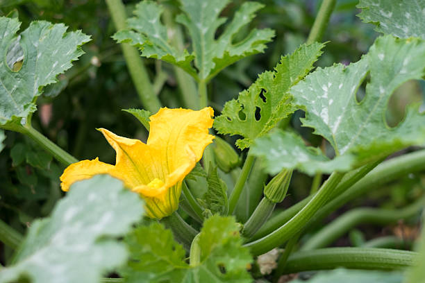 Zucchini Flower A zucchini flower in a vegetable garden apostrophe stock pictures, royalty-free photos & images