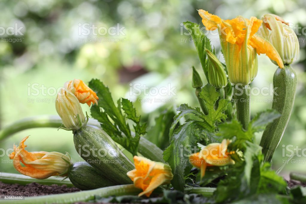 Zucchini Flowers Plant In Vegetable Garden Growing Royalty Free Stock Photo