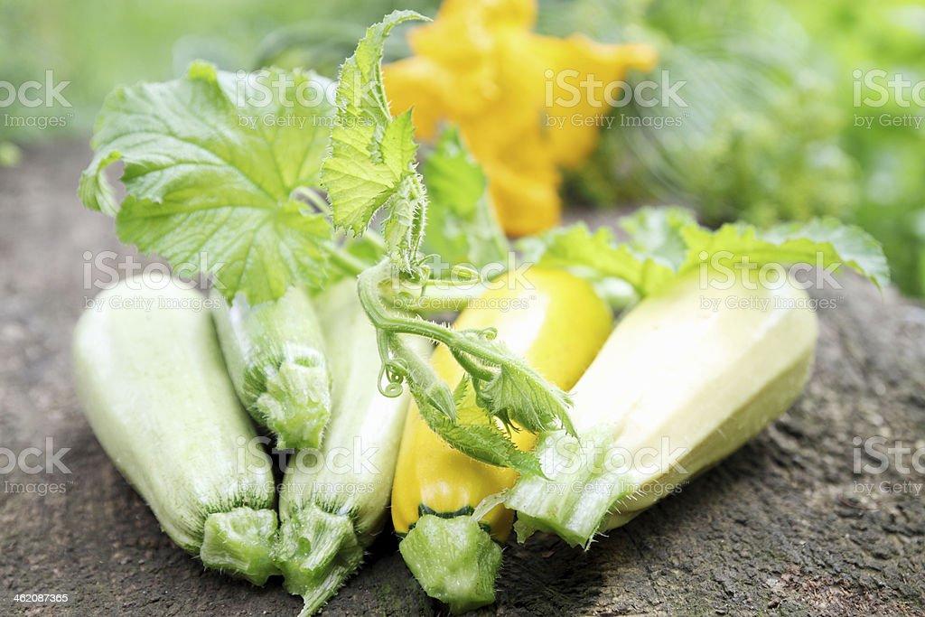 zucchini from the garden stock photo
