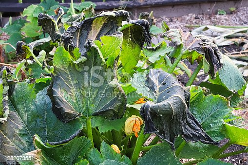 zucchini plants damaged by a heavy fall frost.