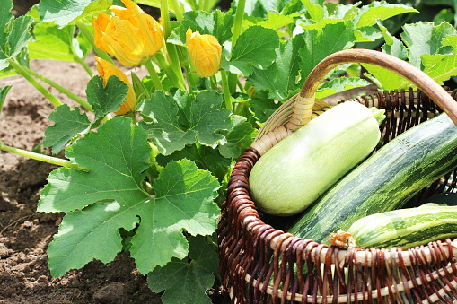 Zucchini Plants In Blossom On The Garden Bed Full Basket Of Fresf Squash Stock Photo - Download Image Now