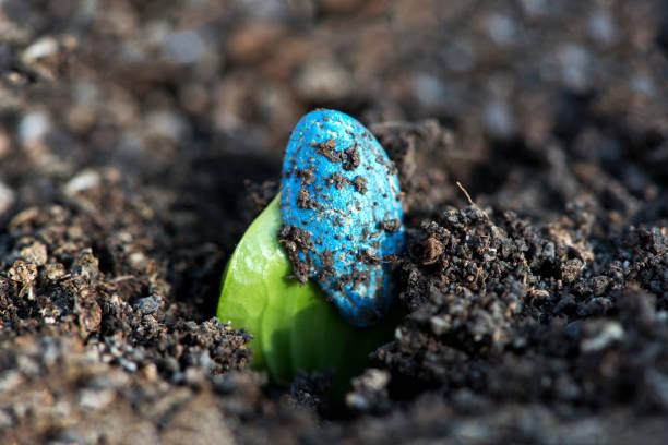 Zucchini Seedling. Erste Blätter einer Courgette- oder Zucchini-Pflanze wachsen aus chemisch behandeltem Saatgut – Foto