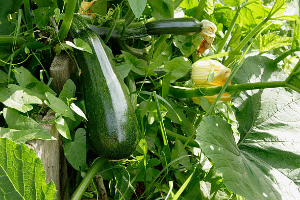 zuccini homegrown - mergpompoen stockfoto's en -beelden