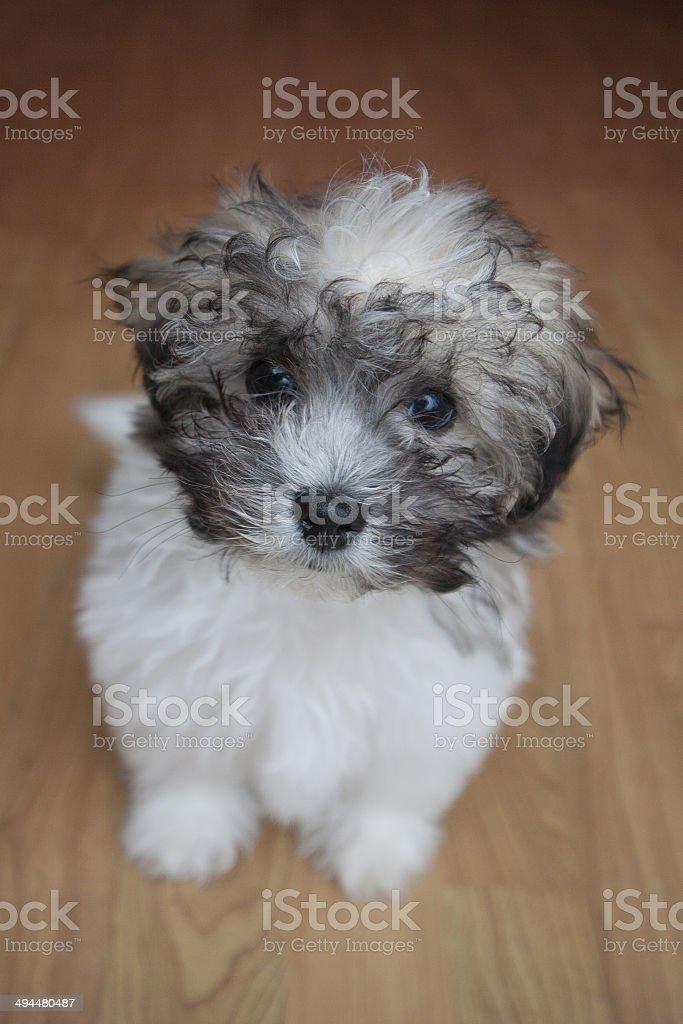 Zuchon puppy dog stock photo
