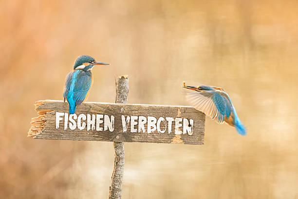 Zwei Eisvögel auf Fischen verboten Schild Notice for Inspector: Prohibition sign with inscription in German: fishing prohibited z_wei stock pictures, royalty-free photos & images