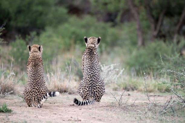 Zwei Geparden machen Pause Zwei Geparden z_wei stock pictures, royalty-free photos & images