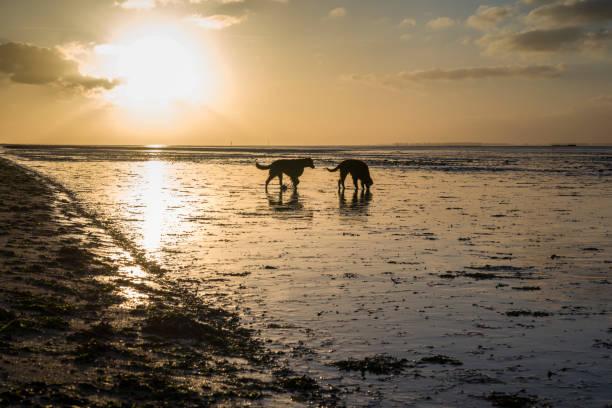 Zwei Hunde im Wattenmeer bei Sonnenuntergang Wangerland. Schillig. Abenddämmerung. Mai. Blick auf Wangerooge. z_wei stock pictures, royalty-free photos & images