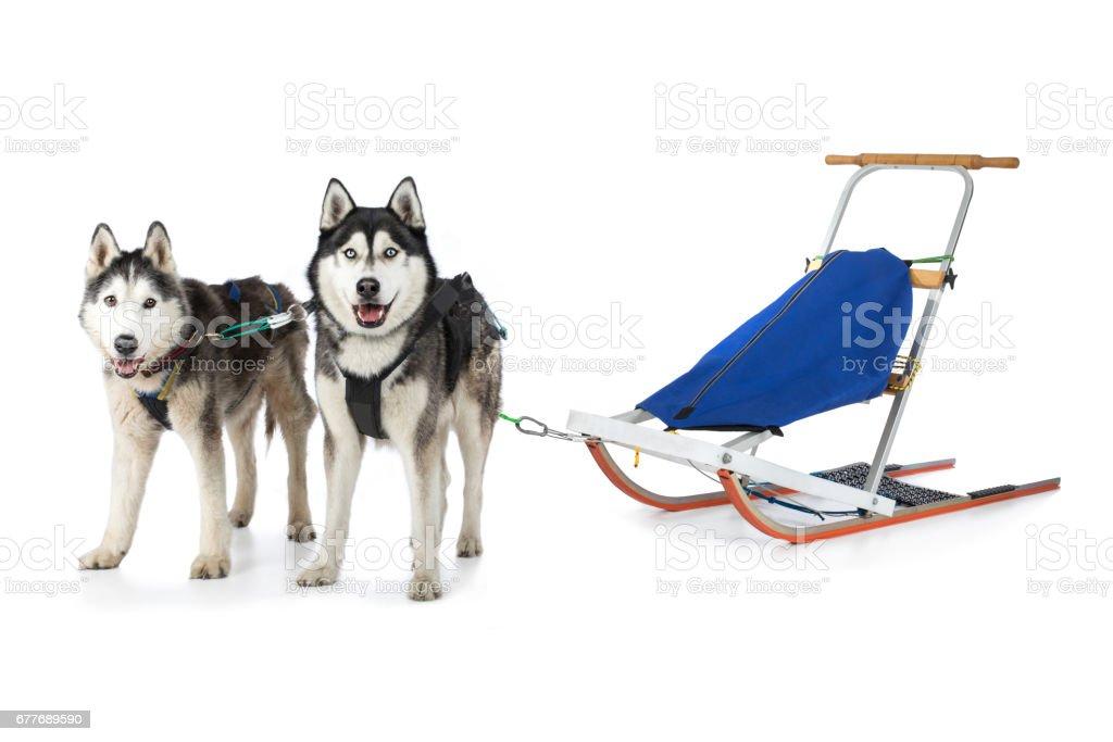 Zwei Huskys Hunde Schlittenhund Rassehund stehen vorgespannt vor Rennschlitten stock photo