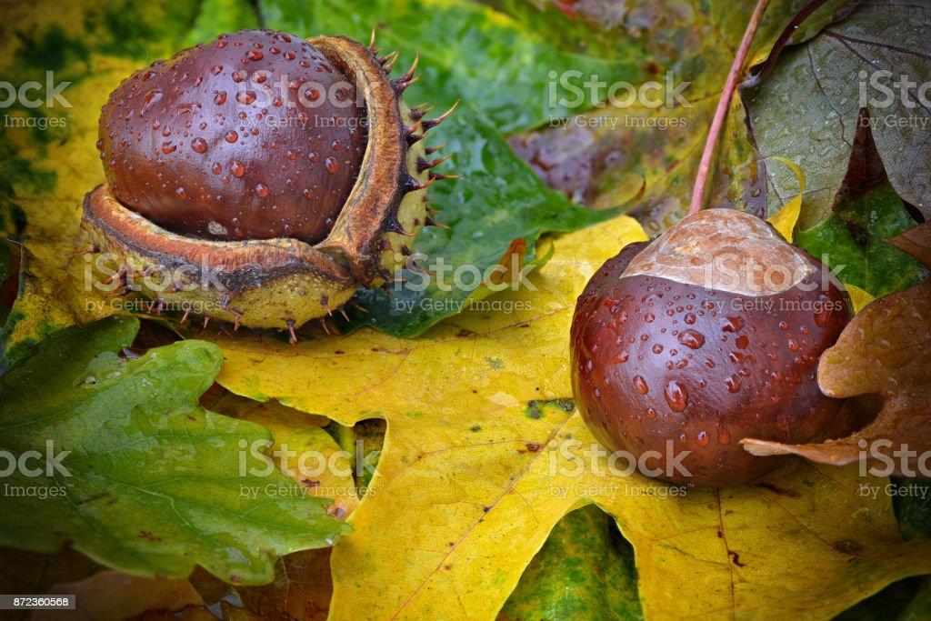 zwei Kastanien im Herbst mit Regentropfen stock photo