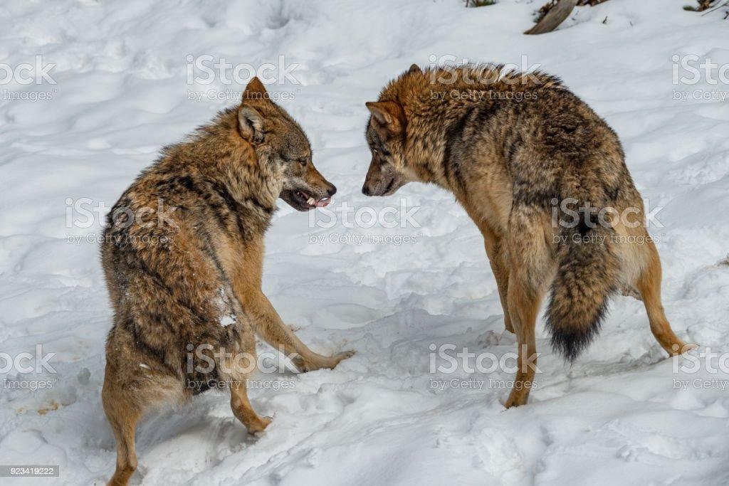 zwei Wölfe im Schnee stock photo