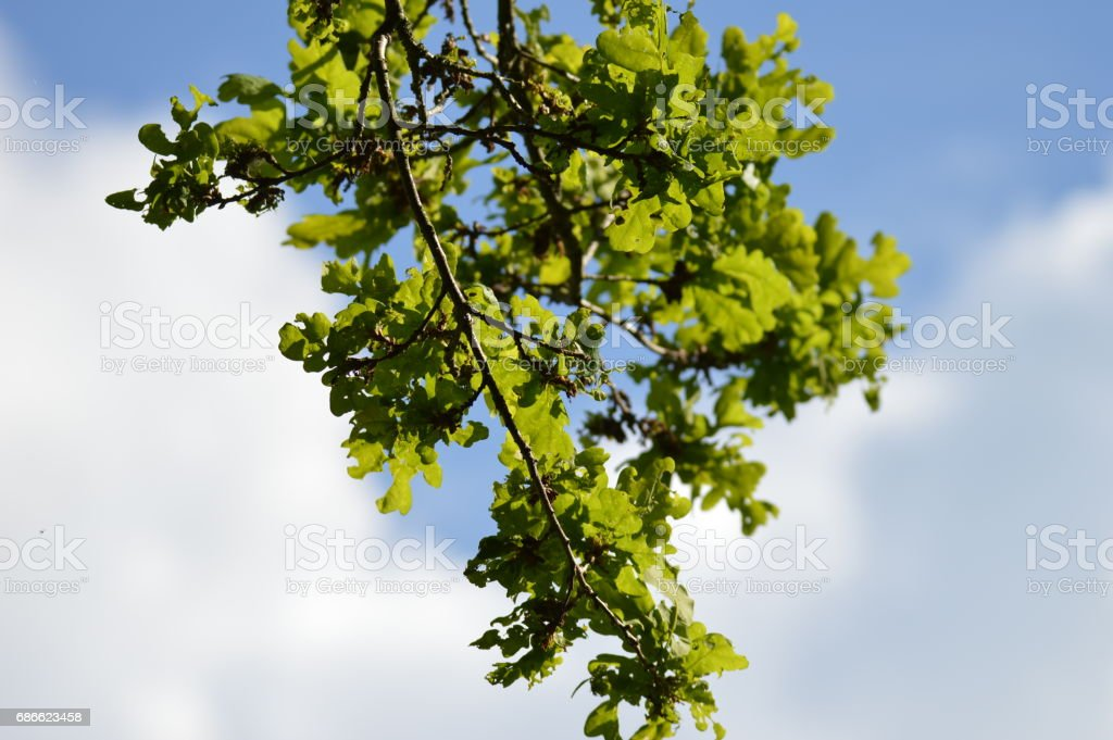Zweige hängen vor blauem Himmel photo libre de droits