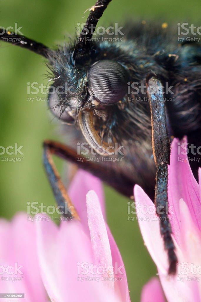 Zygaena butterfly stock photo