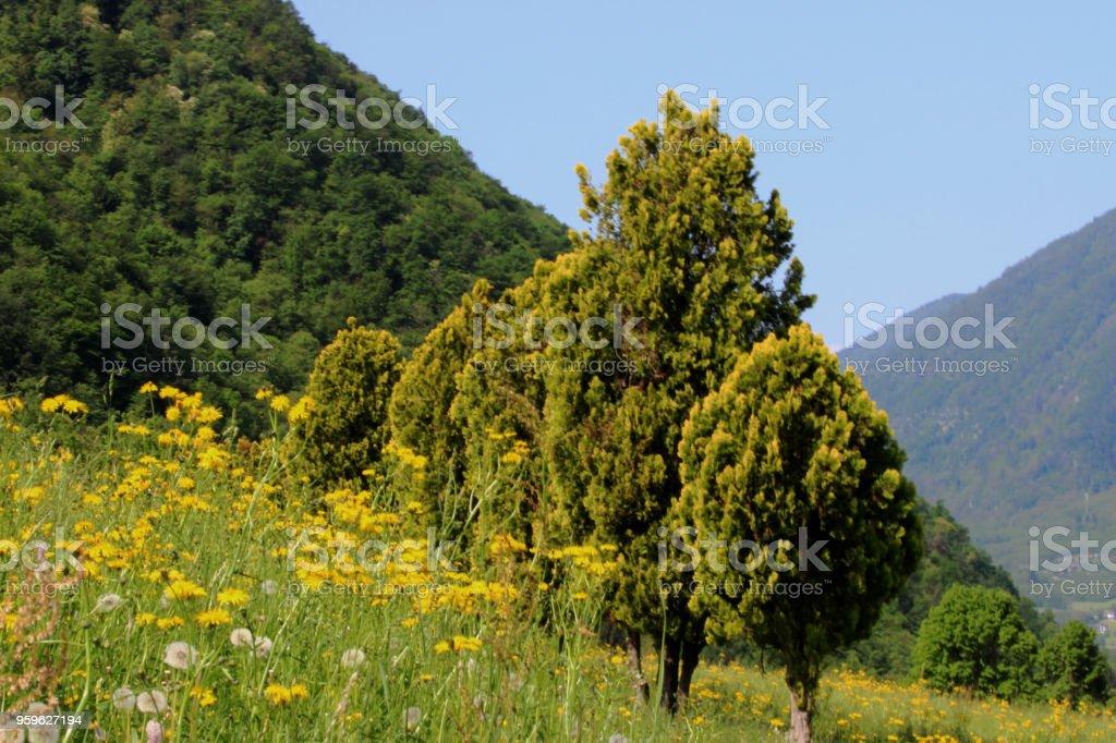 Zypresse - Foto de stock de Aire libre libre de derechos