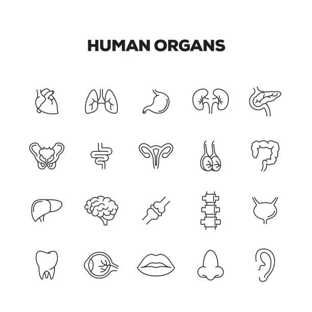 ilustraciones, imágenes clip art, dibujos animados e iconos de stock de conjunto de iconos de línea de órganos humanos - órganos internos