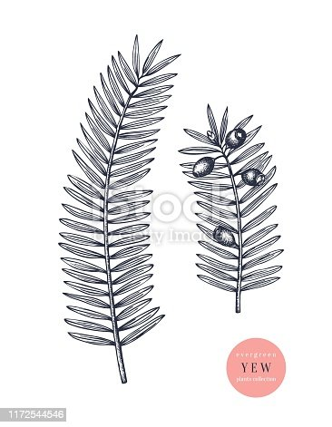 European yew vector illustration. Evergreen tree botanical drawing. Hand drawn conifer plant. For Christmas design, greeting cards, banner, decoration. Vintage outline.