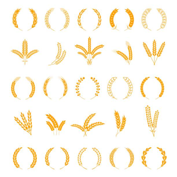 stockillustraties, clipart, cartoons en iconen met 210819_wheat en rogge oren. oogst gerst graan, groei rijst stengel. veld ontbijtgranen. krans spikes en stengels vectorelementen - gepunt