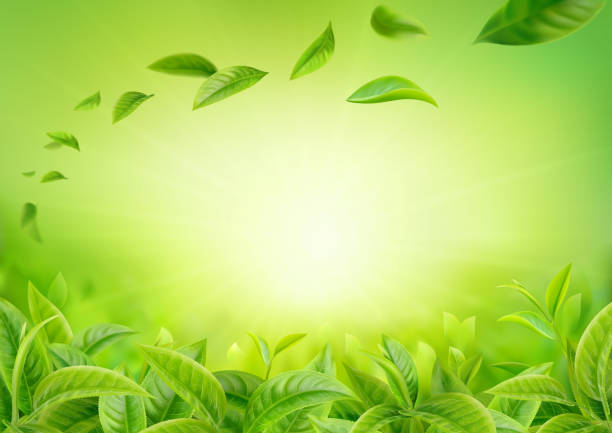 3d realistic vector horizontal banner, nature, green tea garden background with flying leaves  for your design, ads 3d realistic vector horizontal banner, nature, green tea garden background with flying leaves  for your design, ads greentea stock illustrations