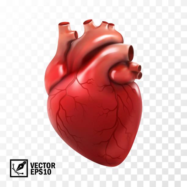 ilustrações de stock, clip art, desenhos animados e ícones de 3d realistic vector isolated human heart. anatomically correct heart with venous system - coração humano