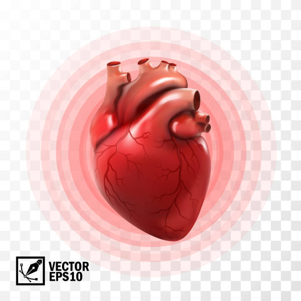 3d realistic vector isolated human heart, circle pulsation, heart attack , anatomically correct heart with venous system 3d realistic vector isolated human heart, circle pulsation, heart attack , anatomically correct heart with venous system biology stock illustrations