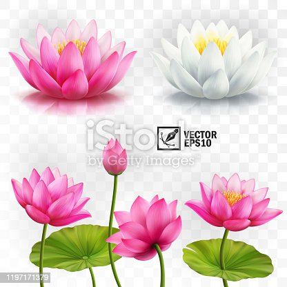 3d realistic vector set of white and pink lotus flowers, stems and leaves for advertising and invitations