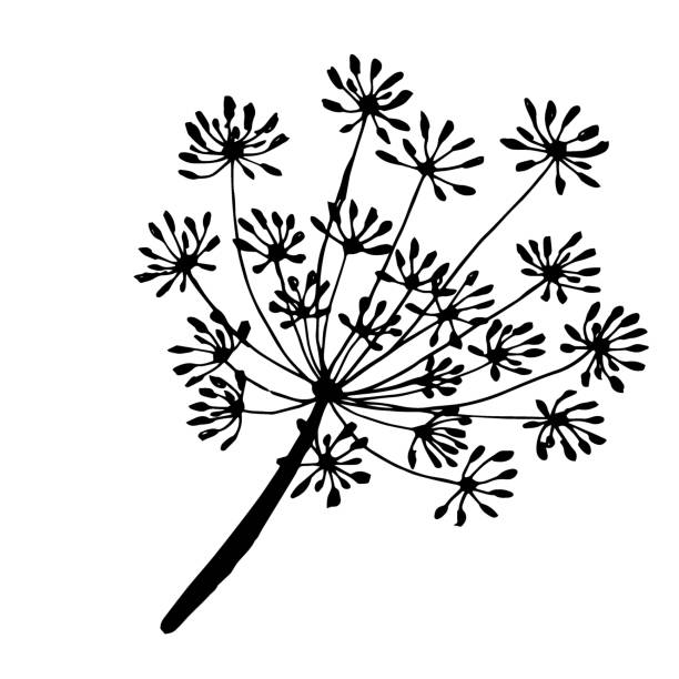 a sprig of dill the drawn contour sprig and fennel seeds are drawn with a black outline dill stock illustrations