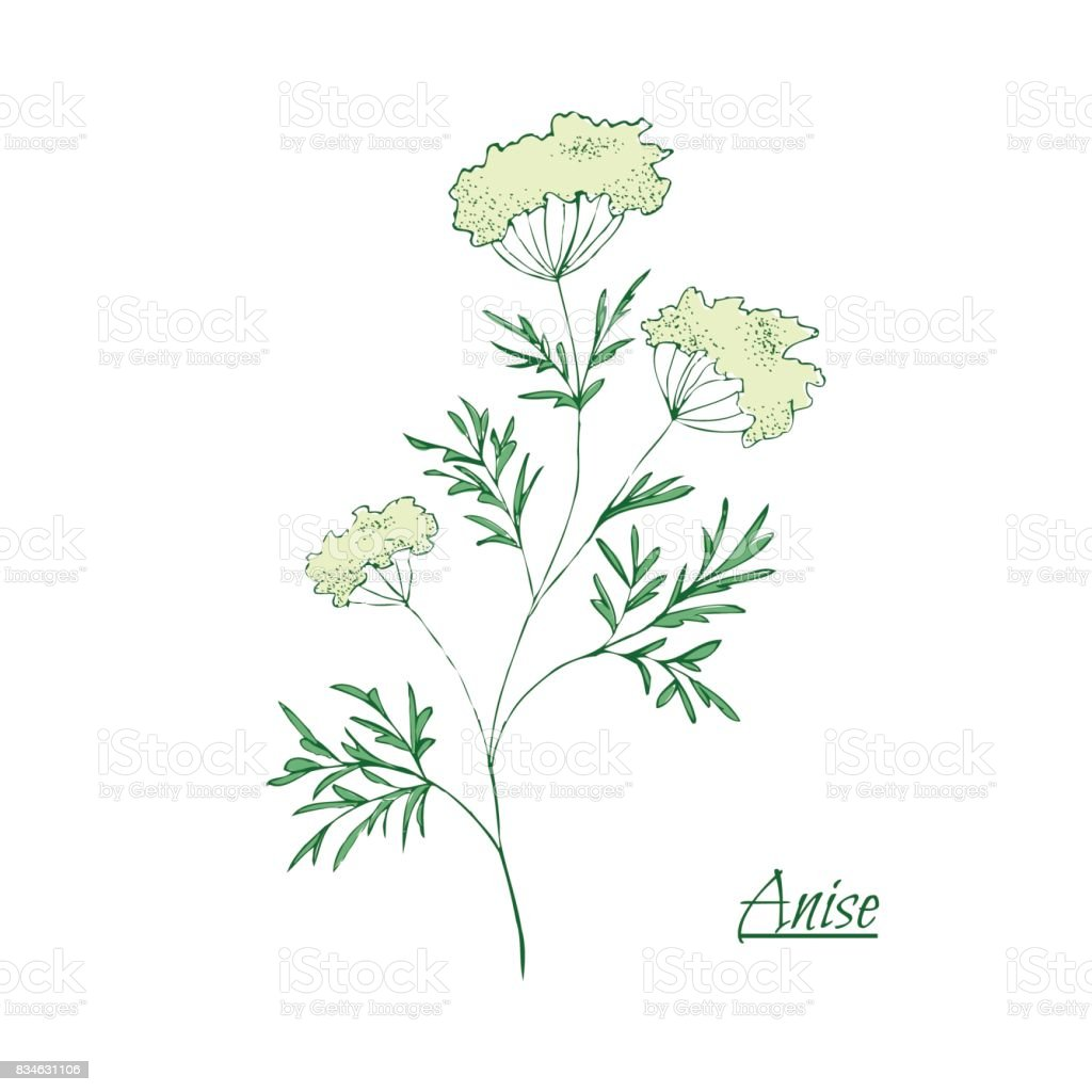 Absinthe ingredients. Fresh green anise (Pimpinella anisum). Hand draw vector art illustration
