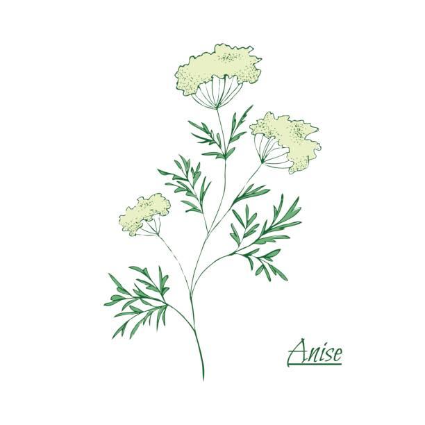 Absinthe ingredients. Fresh green anise (Pimpinella anisum). Hand draw vector art illustration