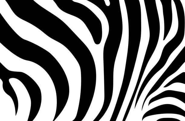 zusammenfassung hintergrund haut eines zebras, weiße und schwarze farbe. wilde tiere. - zebras stock-grafiken, -clipart, -cartoons und -symbole