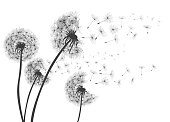 Abstract Dandelions dandelion with flying seeds – for stock
