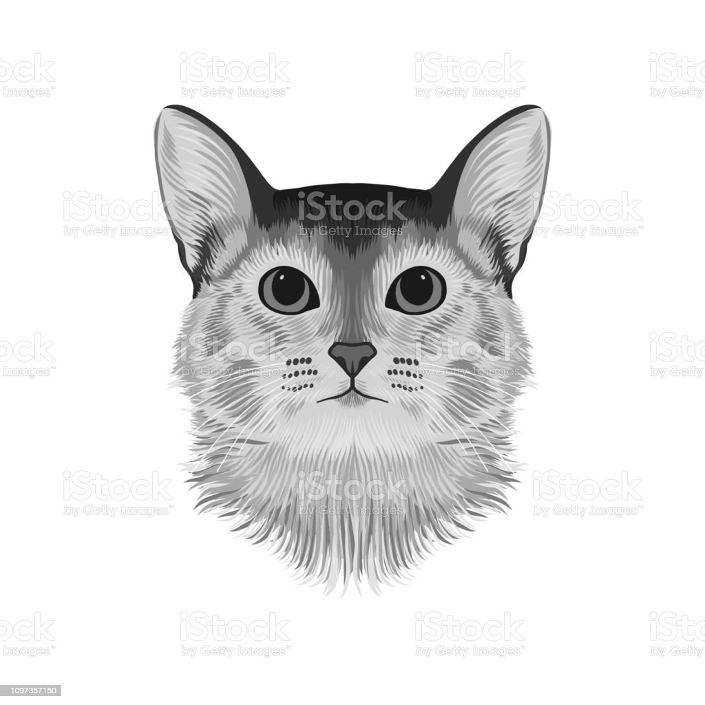 Abyssinian Cat Drawing