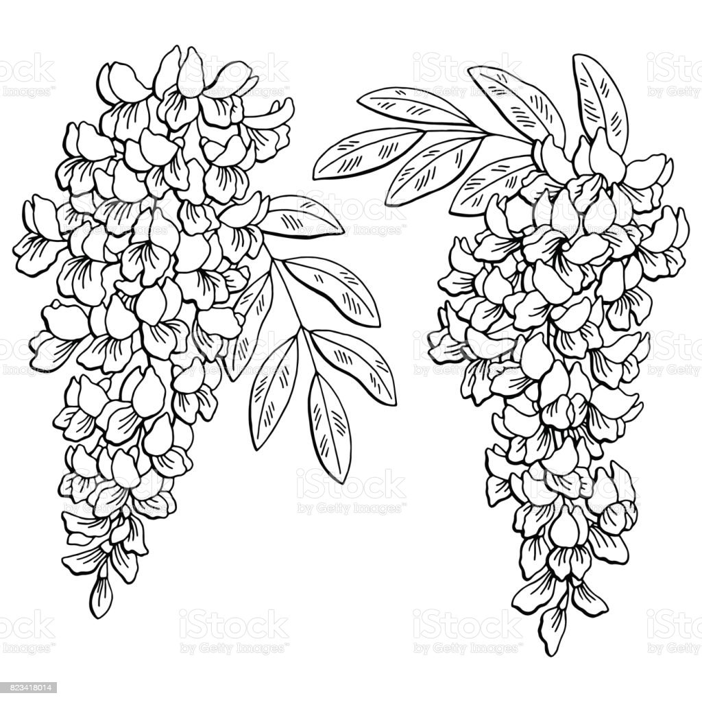acacia tree coloring page - acacia flower graphic black white isolated sketch