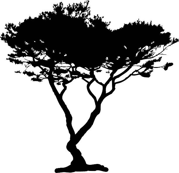 stockillustraties, clipart, cartoons en iconen met acacia tree silhouette, vector - cipres