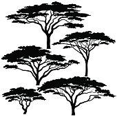 Acacia Tree. Green leaves.