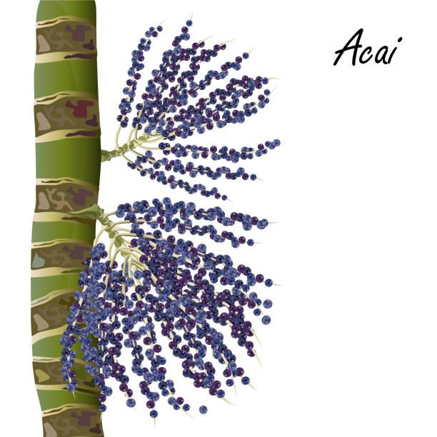 ilustrações de stock, clip art, desenhos animados e ícones de acai berries on palm tree, realistic vector illustration. - oleo palma
