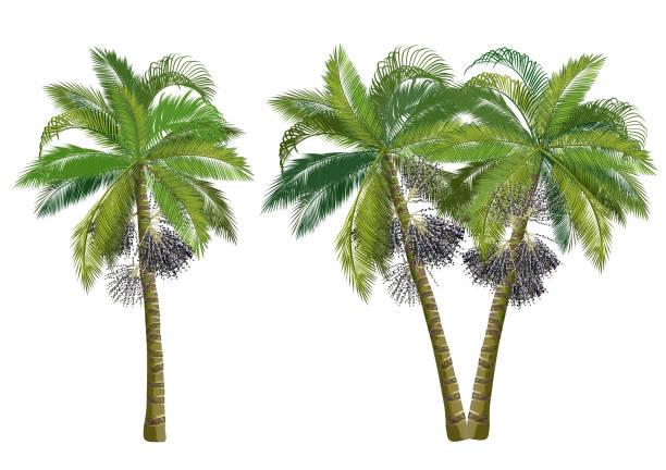 ilustrações de stock, clip art, desenhos animados e ícones de acai palm trees (euterpe oleracea), realistic vector illustrations. - oleo palma