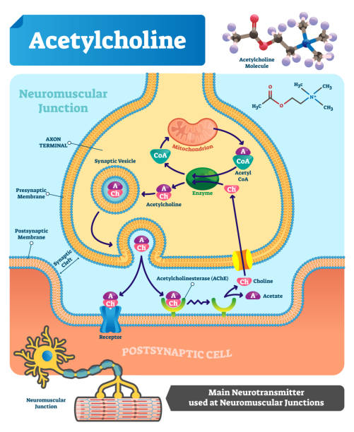 Acetylcholine vector illustration. Labeled scheme with neurotransmitter. Acetylcholine vector illustration. Labeled scheme with structure of neurotransmitter, neuromuscular junction, synaptic vesicle, axon and cleft. Anatomical closeup diagram neurotransmitter stock illustrations
