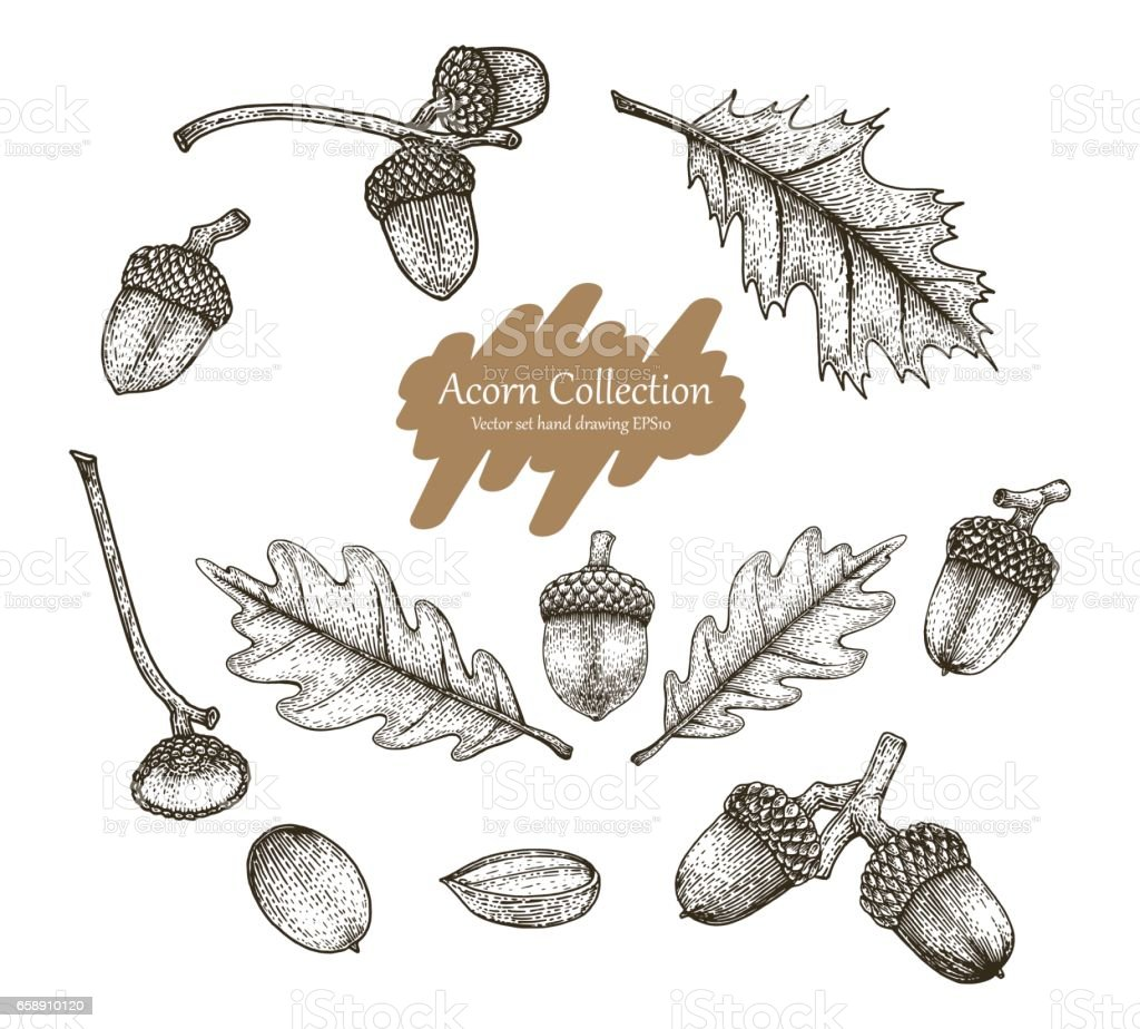 Acorn collection vector set hand drawing vintage style vector art illustration