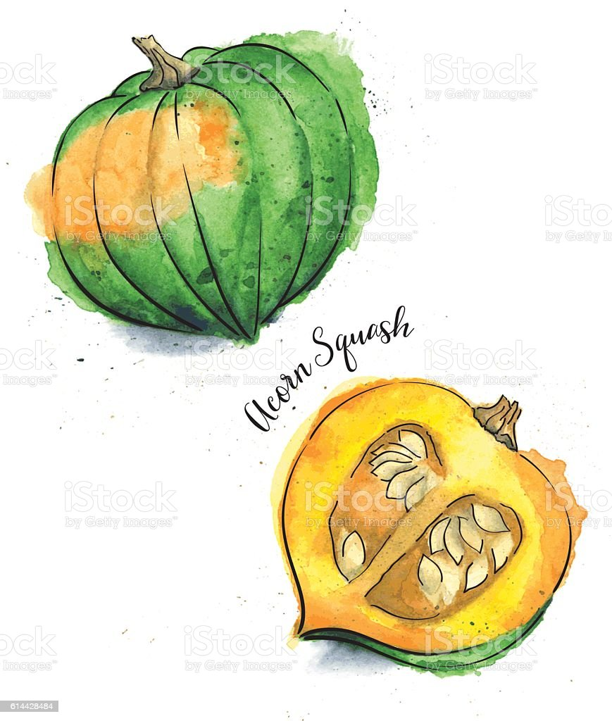Acorn Squash Painted in Watercolor - Vector Illustration vector art illustration