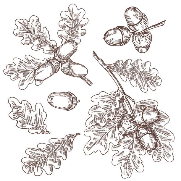 Acorns, oak, vector hand drawing Acorns, oak, vector hand drawing oak leaf stock illustrations