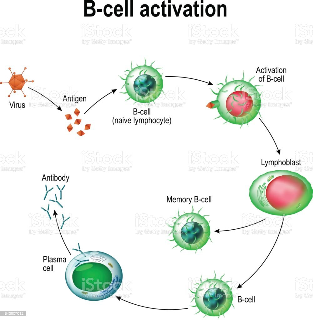 Activation of B-cell leukocytes vector art illustration