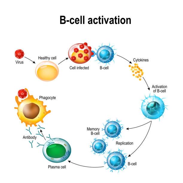 Activation of B-cell leukocytes vector art illustration
