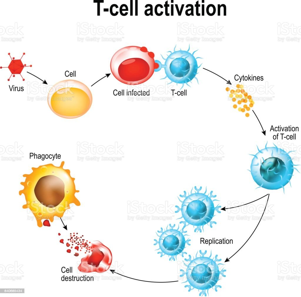 Activation of  T-cell leukocytes vector art illustration