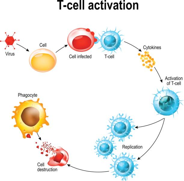 ilustraciones, imágenes clip art, dibujos animados e iconos de stock de activación de los leucocitos de célula t - cáncer tumor